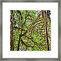 Hall Of Mosses In Hoh Rain Forest In Olympic National Park-washington Framed Print