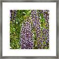 Hanging Wisteria Blossoms Framed Print
