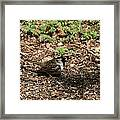 Harris Sparrow Collecting Seeds Framed Print