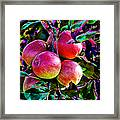 Harvesting Apples Framed Print