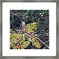 Hawk On A Limb Framed Print