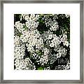 Hawthorn In Bloom Framed Print