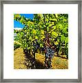 Heavy On The Vine At The High Tower Winery  Framed Print