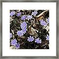 Hepatica Framed Print