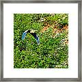 Heron Flies Over Oak Creek In Red Rock State Park Sedona Arizona Framed Print