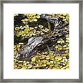 Hiding Alligator Framed Print