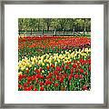Holland Tulip Fields Framed Print