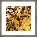 Honeybee Workers And Queen Framed Print