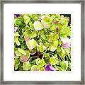 Hortensia With Touch Of Pink Framed Print
