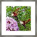 Hummingbird Moths Framed Print