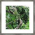 Iguana In A Tree Framed Print