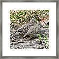 Inca Doves Framed Print