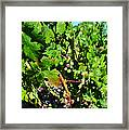 Inglenook Vineyard -10 Framed Print
