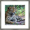 Jaguar Resting From Play Framed Print