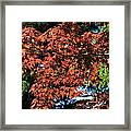 Japanese Maple Canopy Framed Print