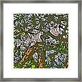 Japanese Pine Framed Print by Jean Hall