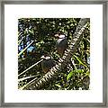 Java Sparrows Framed Print by Colleen Cannon