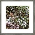 Juniper Berries Ripe Framed Print