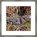 Juvenile American Alligator Framed Print