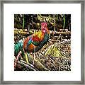 Kauai Rooster Framed Print