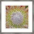 King Protea Flower Macro Framed Print