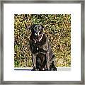Labrador Retriever  Framed Print