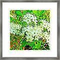 Labrador Tea In Sawtooth National Recreation Area-idaho  Framed Print