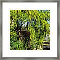 Laburnum By The River Framed Print