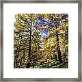 Larch Pines Framed Print