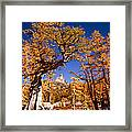 Larch Trees Frame Prusik Peak Framed Print
