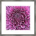 Large Pink Dahlia 2 Framed Print