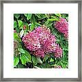 Late Hydrangea Flower Framed Print