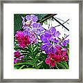 Lavender And Red Orchids At Maerim Orchid Farm In Chiang Mai-tha Framed Print