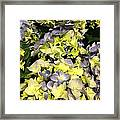 Lavender And Yellow Hydrangea Framed Print