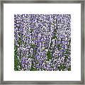 Lavender Hues Framed Print
