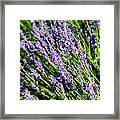 Lavender Square Framed Print
