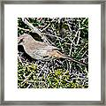 Lecontes Thrasher In Bush Framed Print