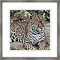 Leopard At Rest Framed Print