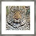 Wild Leopard In Botswana Framed Print