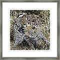 Leopard Tease Framed Print