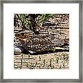 Lesser Nighthawk Chordeiles Acutipennis Framed Print