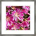 Lewisia Cotyledon Flowers Framed Print