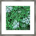 Like Queen Annes Lace Framed Print