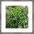 Lilac Heaven Framed Print