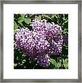 Lilac Ready For A Closeup Framed Print