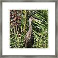 Limpkin With An Apple Snail Framed Print