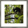 Little Bear Cub In Tree Cades Cove Framed Print