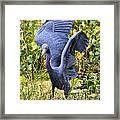 Little Blue Heron Blue Framed Print