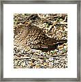 Little Dove Framed Print