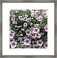 Little Petunias Framed Print